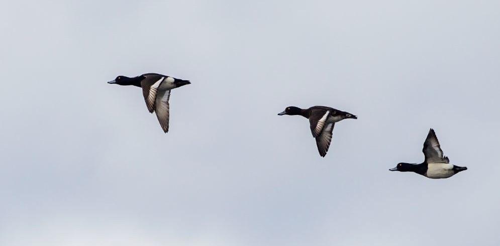 Ilmastonmuutos ajaa talvehtivia vesilintuja kohti pohjoista – tärkeiden lintualueiden suojelu avainasemassa kantojen turvaamiseksi