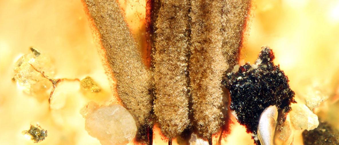 Ainutlaatuinen limasienifossiili löytyi liitukautisesta meripihkasta